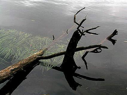 Pond Logs