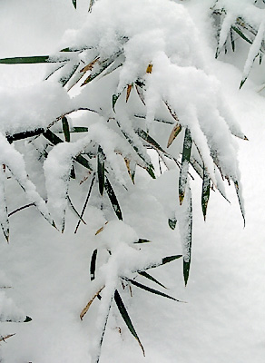 Bamboo grass in snow