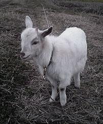 Naruto Goat