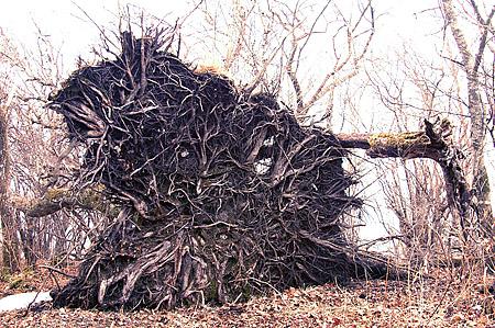 Upturned beech