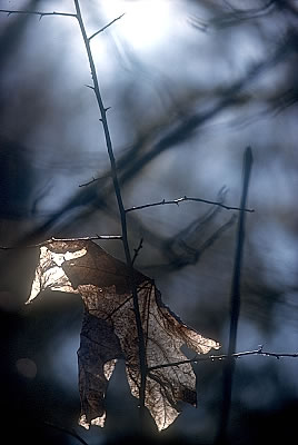 dry_leaf_hazelnuts