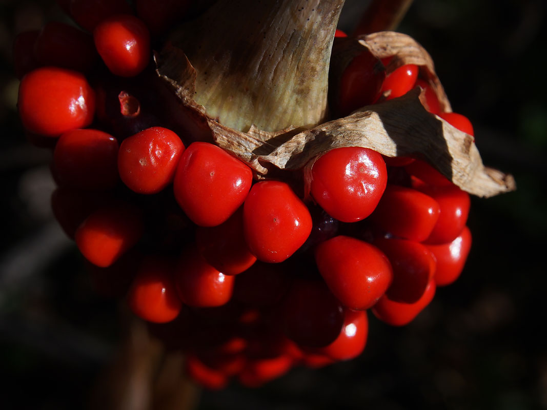 Kamikochi Wild Berries